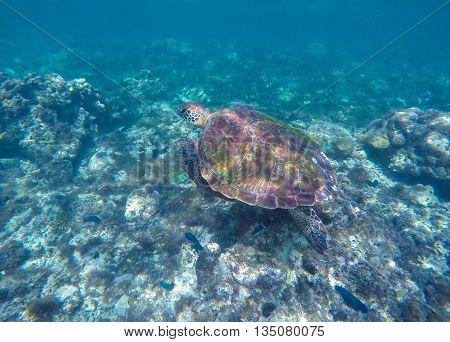 Green turtle swimming in the sea. Exotic animal underwater. Blue lagoon wild life. Philippines snorkeling spot - Apo