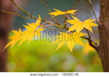 Yellow Maple Leaves in Autumn with Green Leaves Background