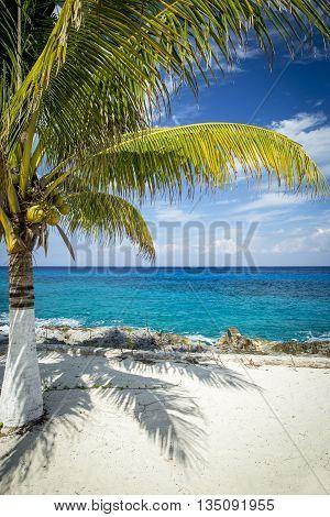Palm tree at coast of Cozumel island Mexico