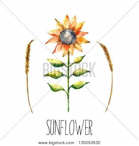 Realistic brush watercolor sunflower. Floral element blossoming sunflower and spica for floral design. Realistic watercolor painting. Hand drawn illustration sunflower and spica.vector