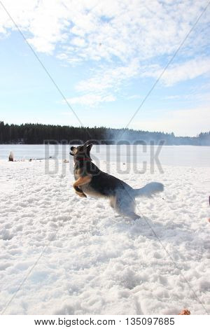 East European Shepherd in a jump in the lake in winter