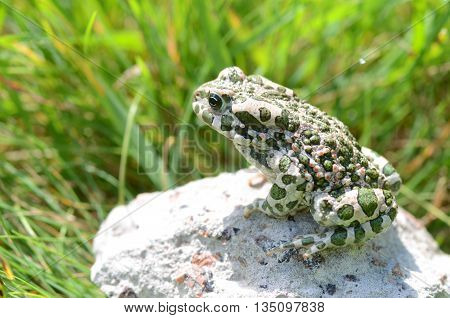 Spotted an earthen toad sitting on a stone close-up. Bufo bufo. Green toad (Bufo viridis) Photo Macro