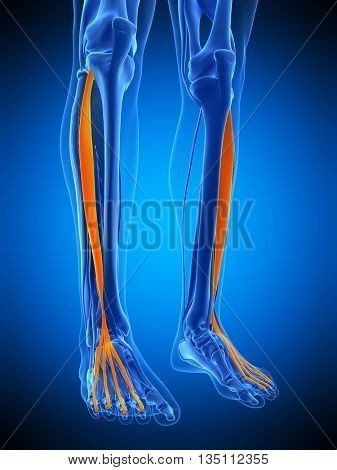 3d rendered, medically accurate illustration of the extensor digitorum longus