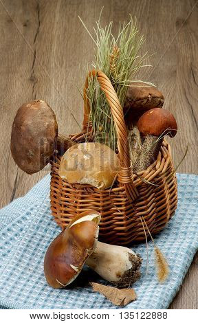 Arrangement of Raw Porcini Mushrooms Orange-Cap Boletus and Peppery Bolete with Natural Dirties in Wicker Basket on Blue Napkin closeup on Wooden background