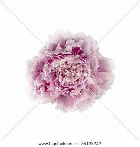 Pink Peony Flower Isolated on White Background (with clipping path)