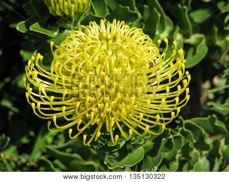 Yellow Bottle Brush Protea, Found Only In Western Cape South Africa