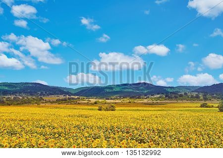 Field of Sunflowers in front of Mountain Range