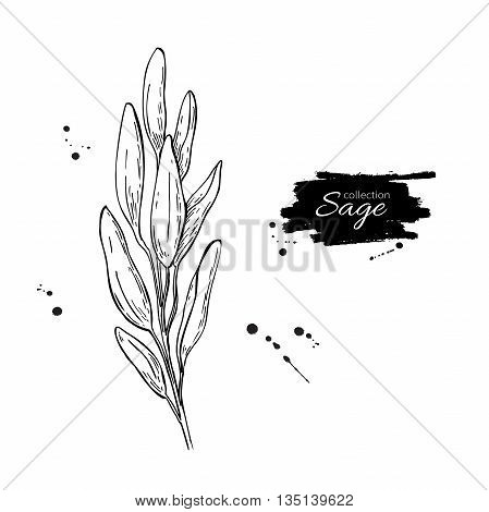 Sage vector drawing. Isolated sage plant with leaves. Herbal engraved style illustration. Detailed organic product sketch. Cooking spicy ingredient