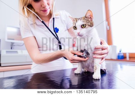 Veterinarian With Stethoscope Examining Cat With Sore Stomach.