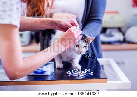 Unrecognizable Veterinarian At The Clinic Cleaning Ears Of Cat