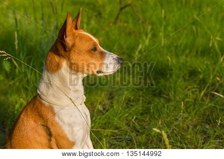 Outdoor portrait of gorgeous basenji dog delighting warm evening spring sun