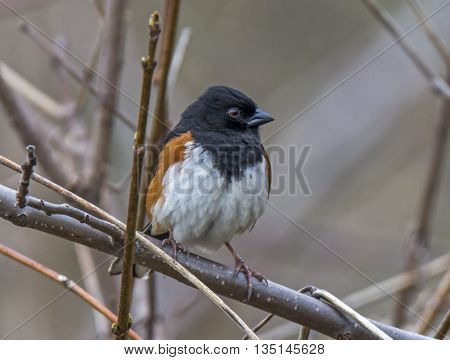A striking male Eastern Towhee perches on a branch to survey its surroundings on the edge of a midwest woodland.
