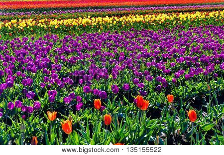 View of a beautiful field of brightly colored tulips in Woodburn Oregon