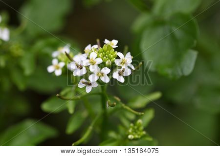 A macro photo of Watercress (Nasturtium officinale) flowers.