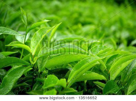 tea leaf with dew