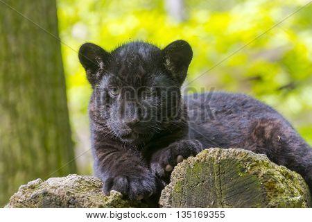 Black Jaguar Cub