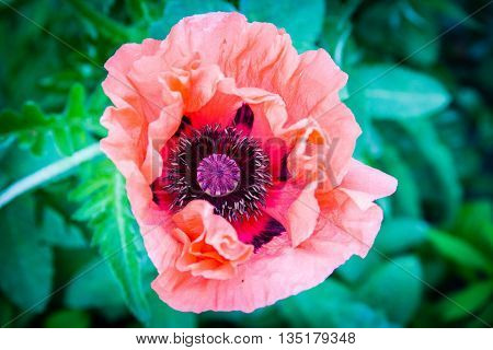 One red poppy isolated on green background