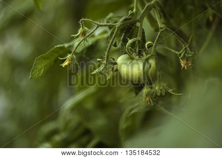 One green tomato growing on the branch
