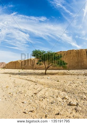 Tree desert of Umbrellata Acacia in the Black canyon. The stone desert in Eilat mountains, Israel