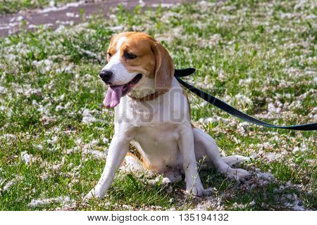 Beagle dogs sitting on a grass with poplar fluff