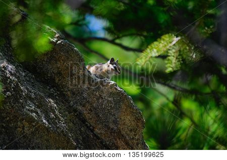 Chipmunk Perched on a Rock in the Woods