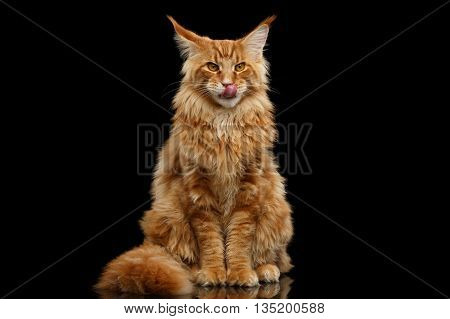 Furry Red Maine Coon Cat Sitting and Lick Isolated on Black Background, Front view
