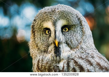 The Great Grey Owl Or Great Gray Owl Strix Nebulosa Is Very Large Owl. Wild Bird. Close Up Head, Face.