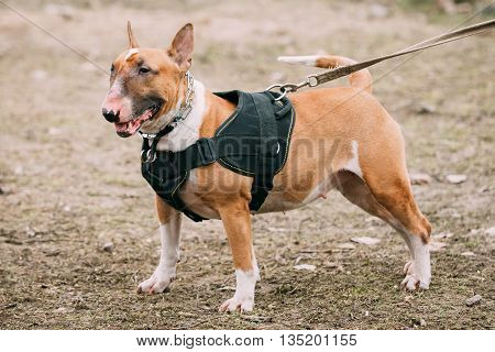 Pet Bullterrier Dog Portrait At Green Grass. Other names - Bully, The White Cavalier, Gladiator, and English Bull Terrier.