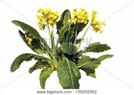 Primrose Or Primula Veris On White Background.