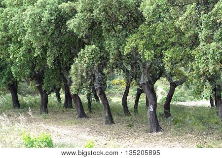 Cork tree or cork oak forest in the south of France near Banyuls
