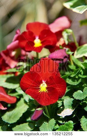 Flower Red Viola In Garden