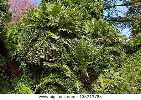 Background Of Green Palm Leaves
