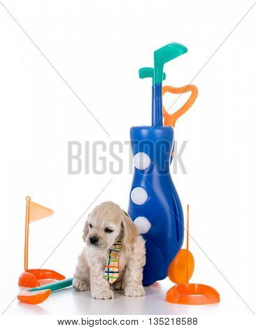 cute american cocker spaniel puppy playing witty golf equipment isolated on white background