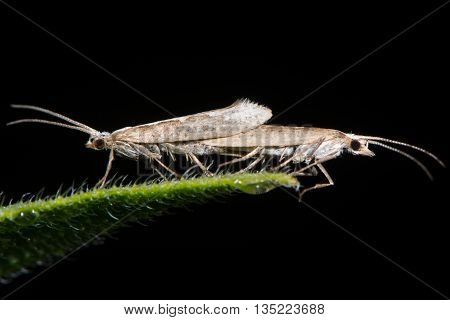 Diamond-back moths (Plutella xylostella) mating. Migratory insects in the family Plutellidae in cop known as a pest of vegetable crops including cabbage