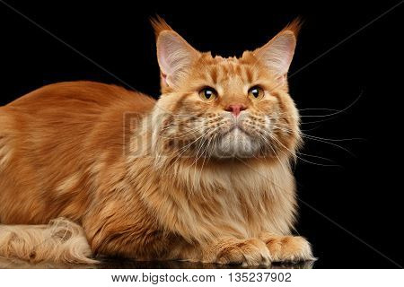 Close-up Ginger Maine Coon Cat Lying and Looking up Isolated on Black Background, Front view