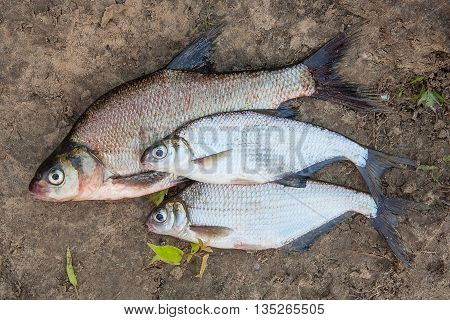 Several Common Bream Fish And Silver Bream Or White Bream Fish On The Natural Background.