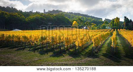 Beautiful Autumn vines in South Australia