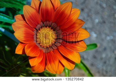 Gazania Garden Plant In Flower.bright Orange