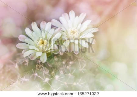Cactus Flowers On Tree In Soft Romantic Pink Yellow Pastel Bokeh,mila Or Closeup Cactus Flower And B