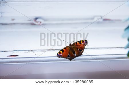 beautiful romantic peacock butterfly sitting in white window