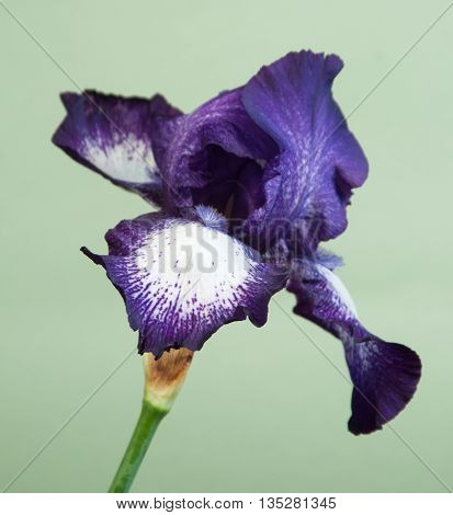 Iris Barbatus flower over light green background closeup