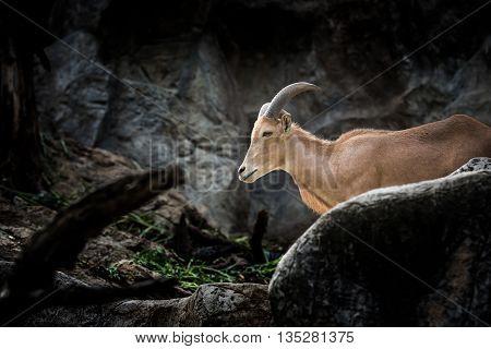 Mountain goats, Mountain goats in National Park.