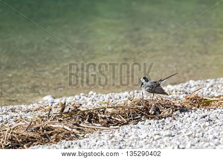 Cute little White Wagtail bird (Motacilla alba) wagging its tail by the lake in Austria, Europe during summer