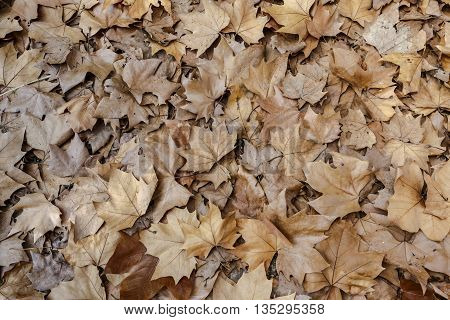 Autumn leaves background texture. Fallen foliage seasonal abstract photographed close-up of old autumn leaves lying on the ground. Maple Leaf Type