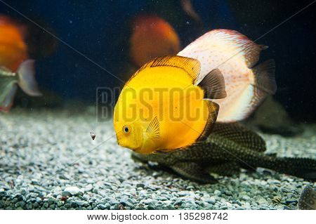 Beautiful yellow zebrasoma salt water aquarium fish.