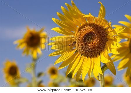 Details of honey bee on sunflower in Thailand poster