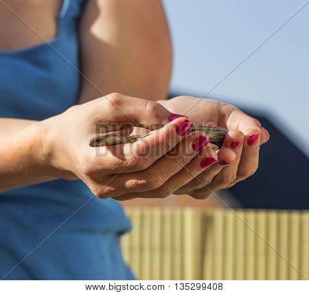 Womans Hands are holding a anguis fragilis.