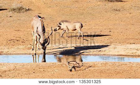 Drinking At The Dam - Greater Kudu - Tragelaphus Strepsiceros