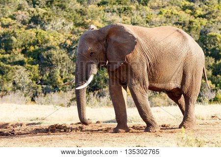 On The Way To The Dam - African Bush Elephant