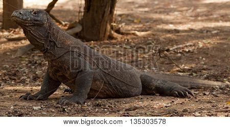 Komodo dragon is on the ground. Interesting perspective. The low point shooting. Indonesia. Komodo National Park.